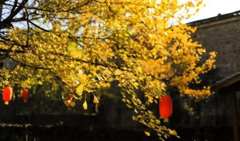 古村故事:腾冲璀璨银杏林海背后,映射出祖辈人的家国情怀